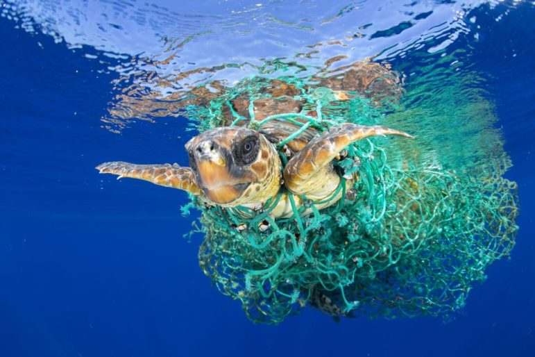 A sea turtle entangled in a fishing net swims off the coast of Tenerife, Canary Islands. (Francis Perez-World Press Photo via AP)